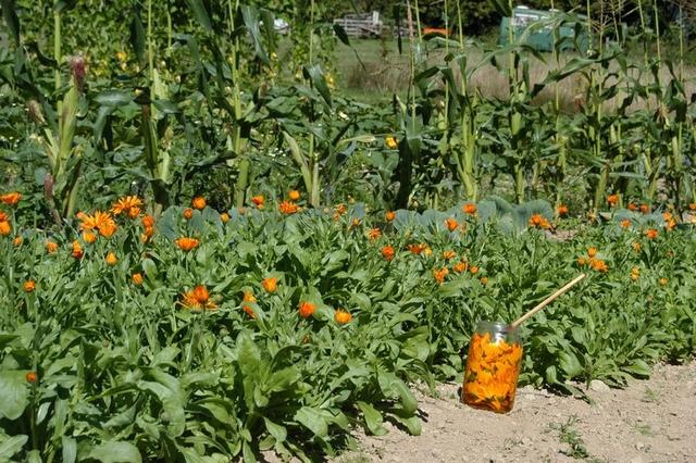 calendula oogsten