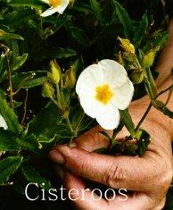 cisteroos